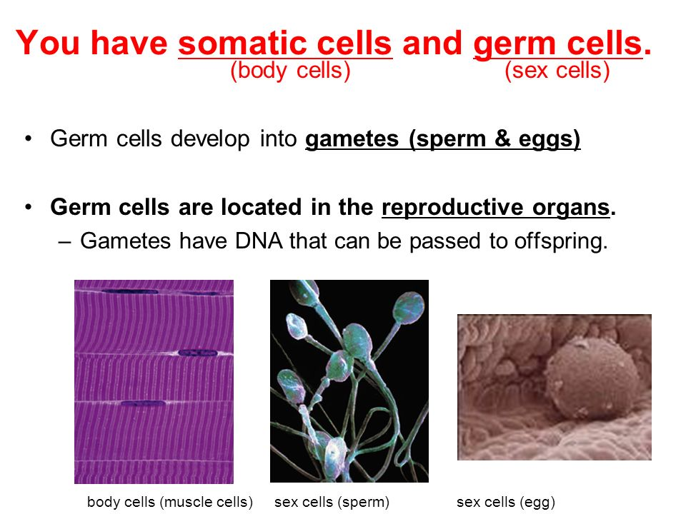 You have somatic cells and germ cells.