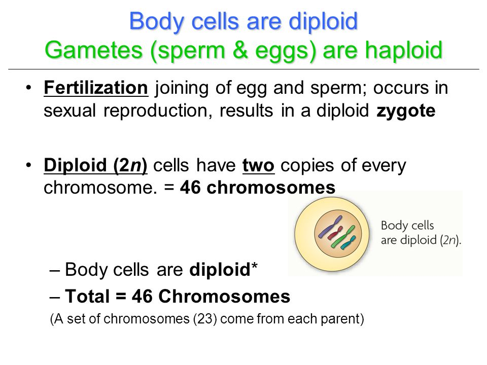 Body cells are diploid Gametes (sperm & eggs) are haploid
