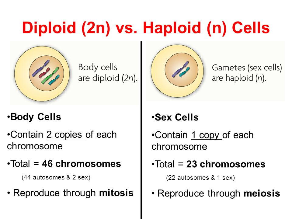 Diploid (2n) vs. Haploid (n) Cells