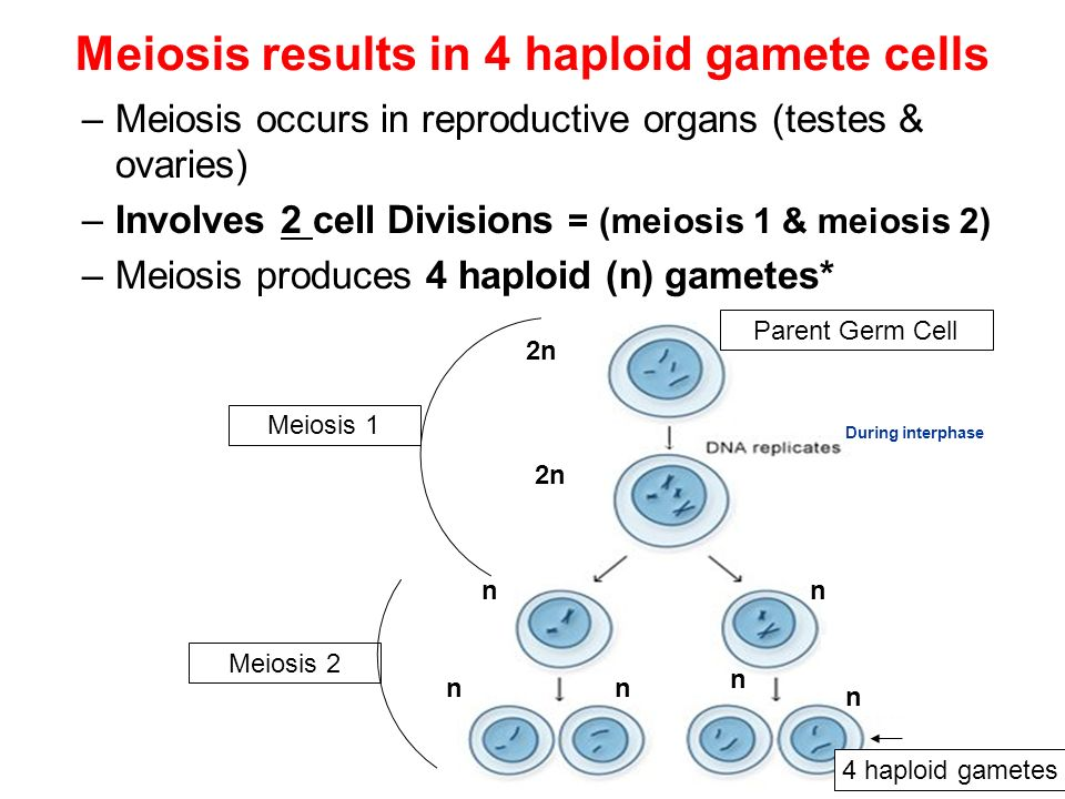 Meiosis results in 4 haploid gamete cells