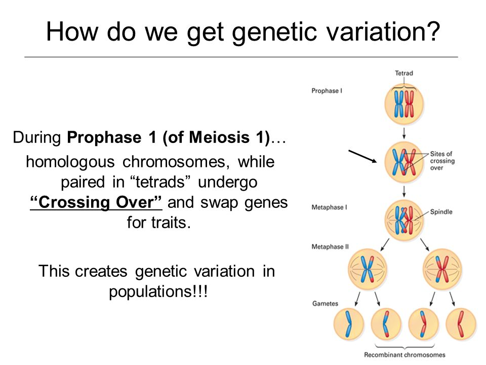 How do we get genetic variation