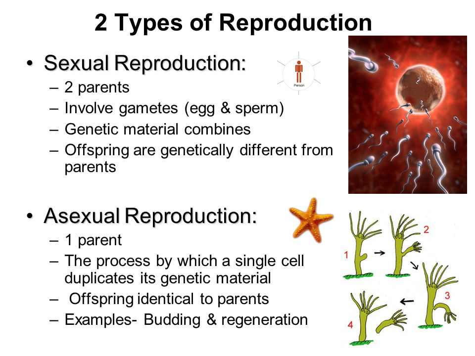 2 Types of Reproduction Sexual Reproduction: Asexual Reproduction: