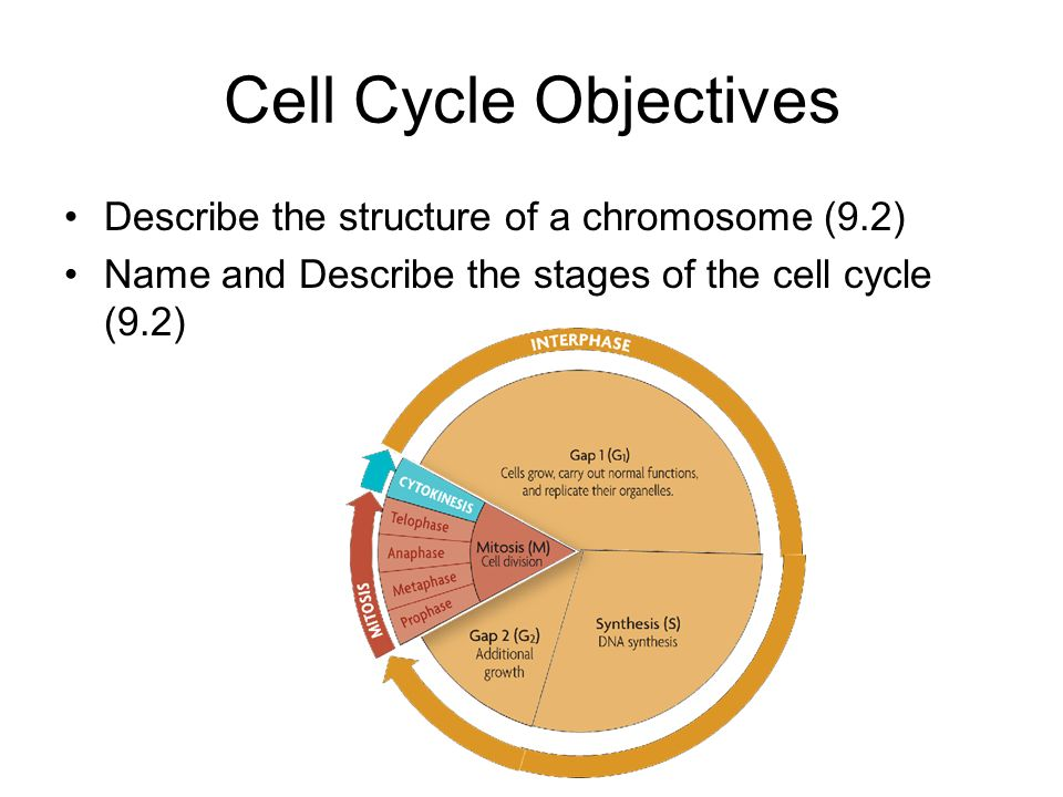Cell Cycle Objectives Describe the structure of a chromosome (9.2)