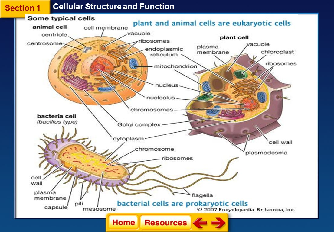 Cell structure of bacteria with diagram - 6 Section 1 Cellular