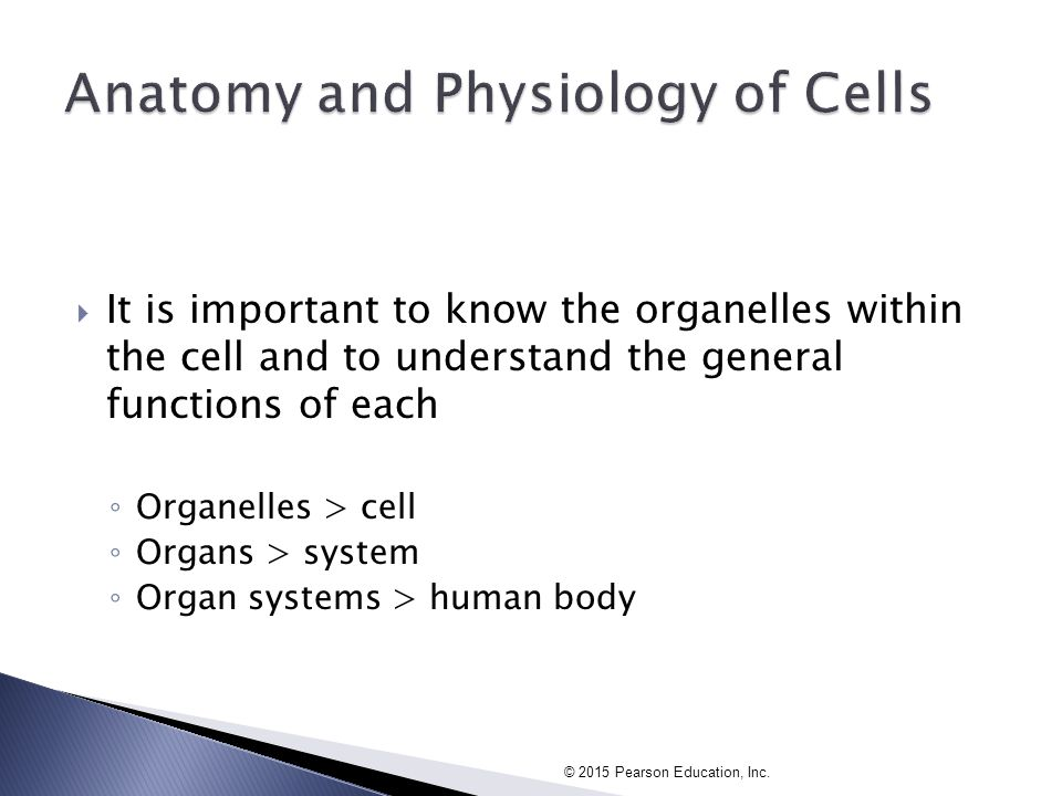 Chapter 3: Cell Anatomy and Cell Junctions - ppt video online download