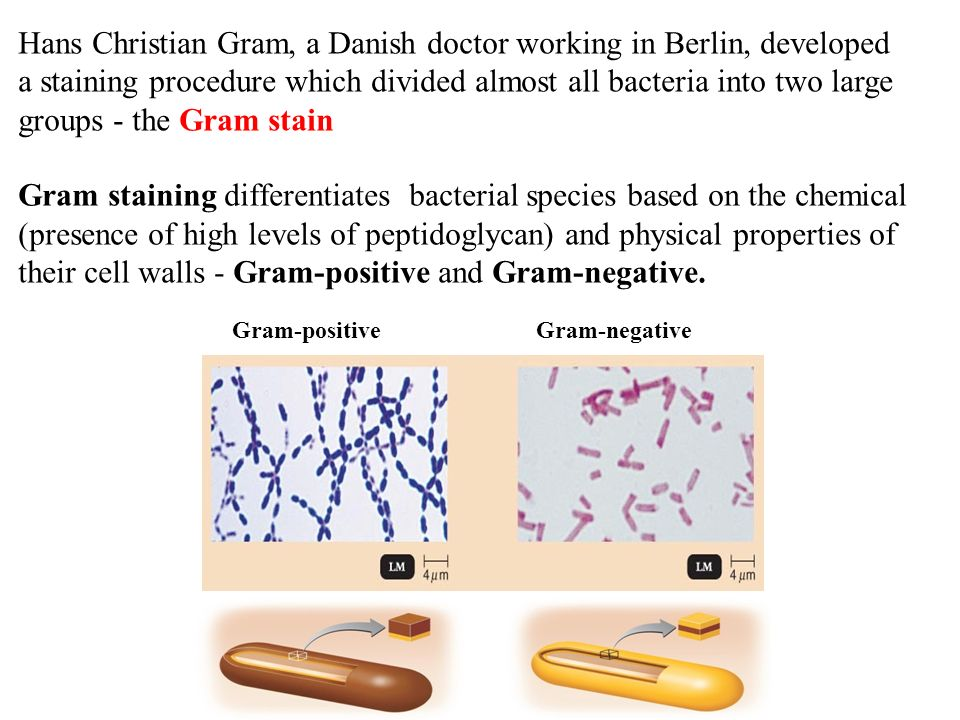 conclusion gram staining Gram stain report introduction the purpose of this experiment is to determine the shape and gram stain of the bacteria under a microscope the reason for staining.