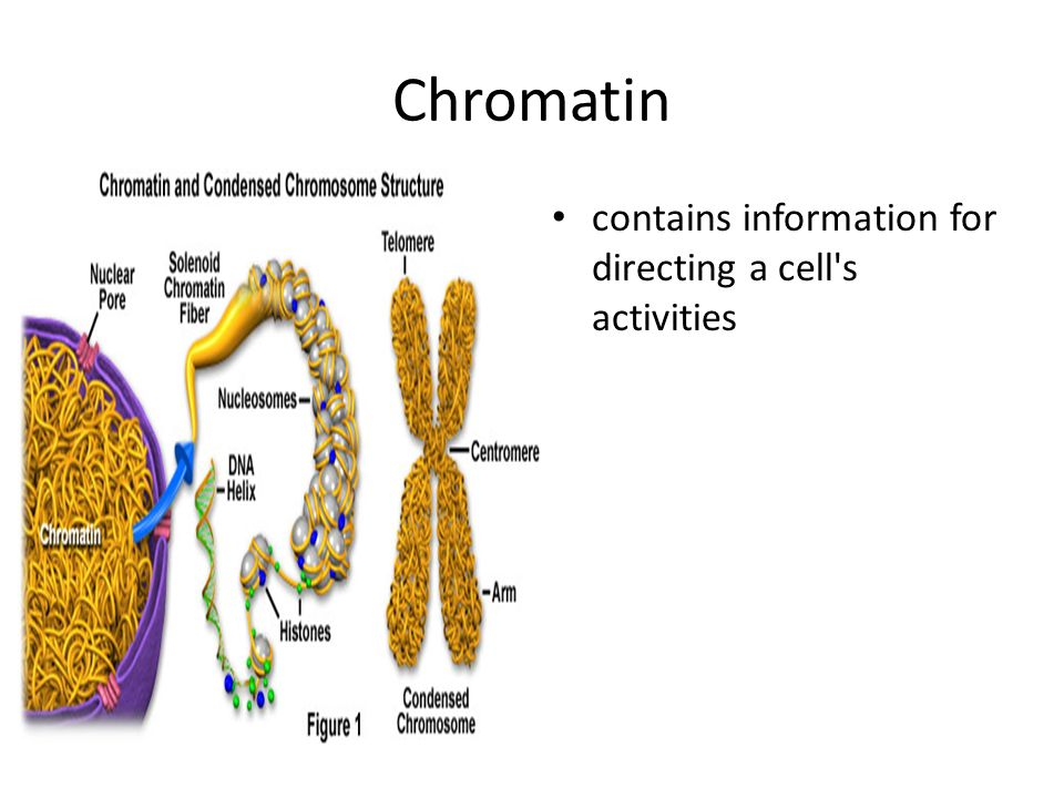 Chromatin contains information for directing a cell s activities