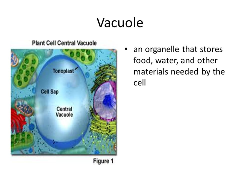 Vacuole an organelle that stores food, water, and other materials needed by the cell