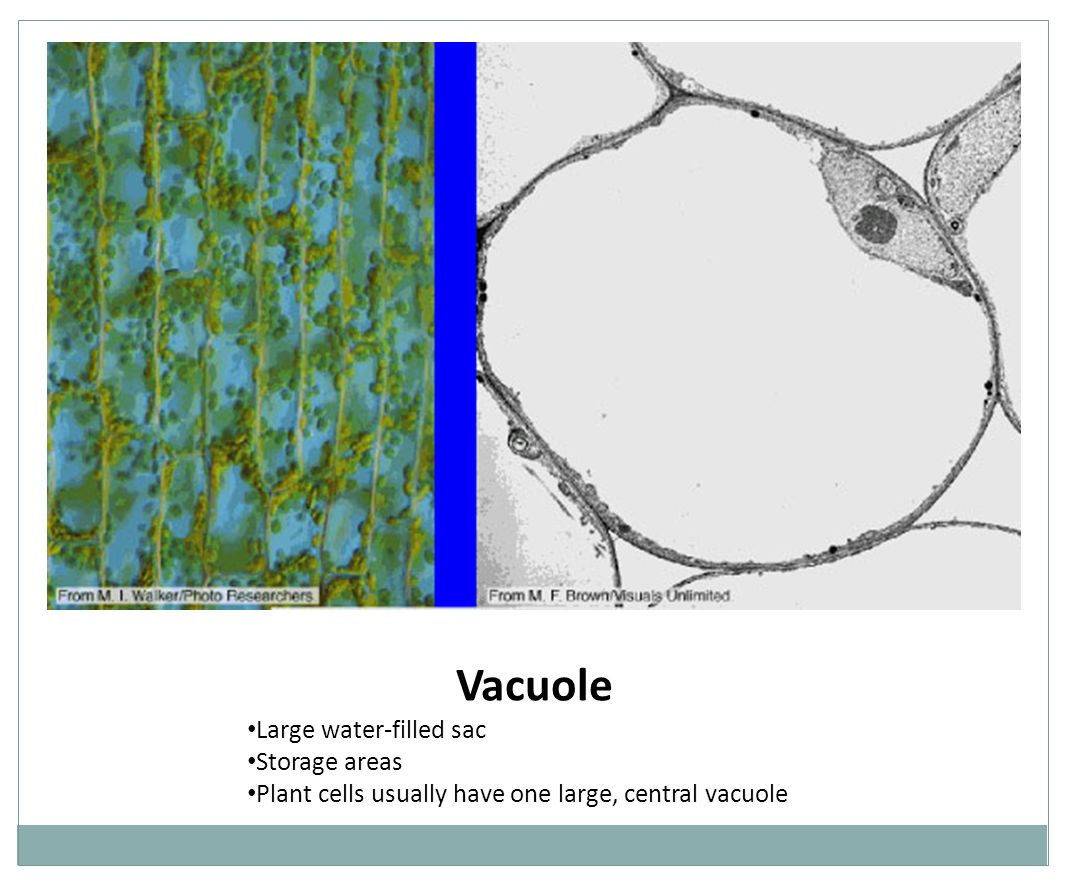 Vacuole Large water-filled sac Storage areas
