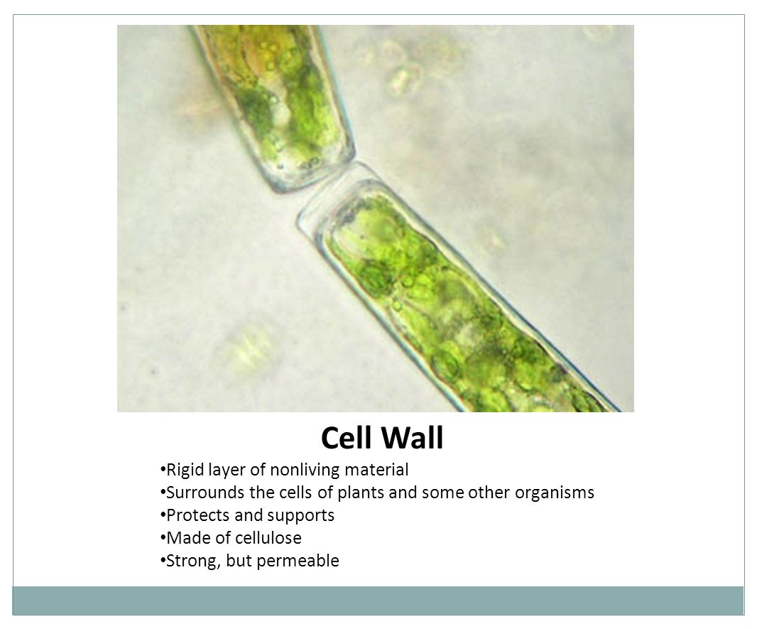 Cell Wall Rigid layer of nonliving material