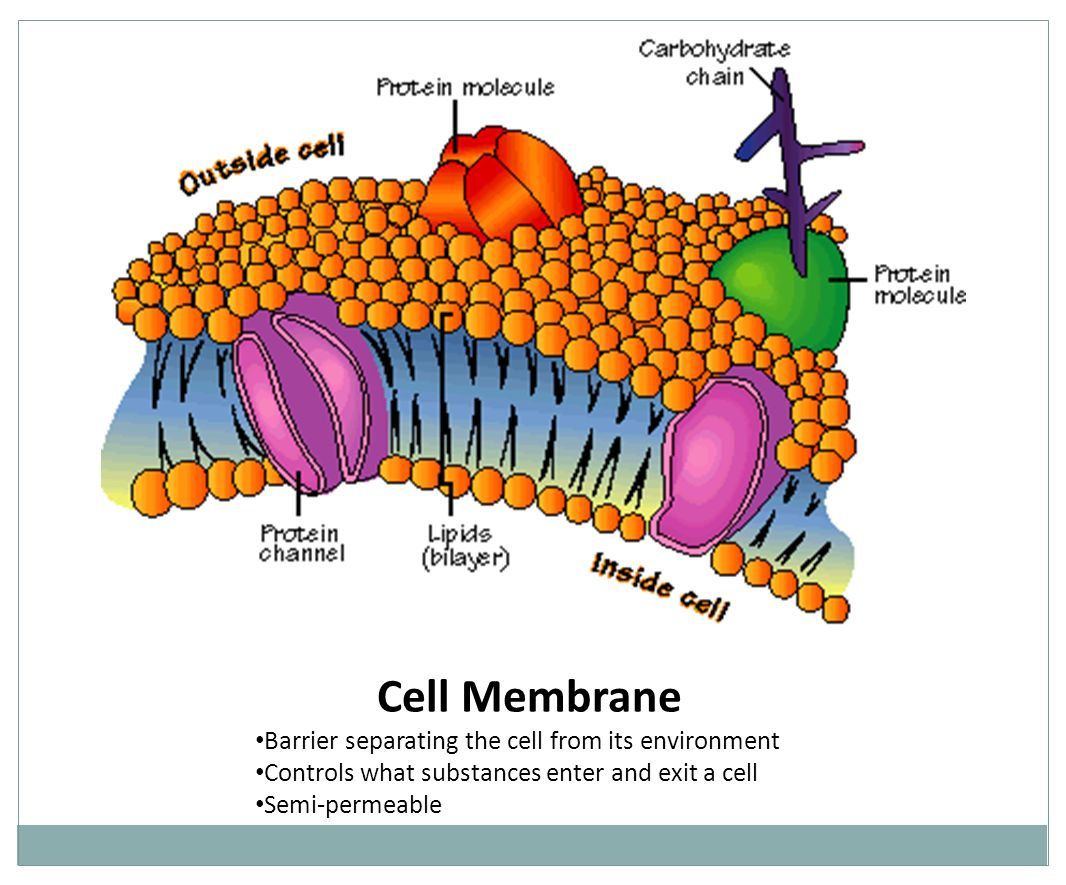 Cell Membrane Barrier separating the cell from its environment