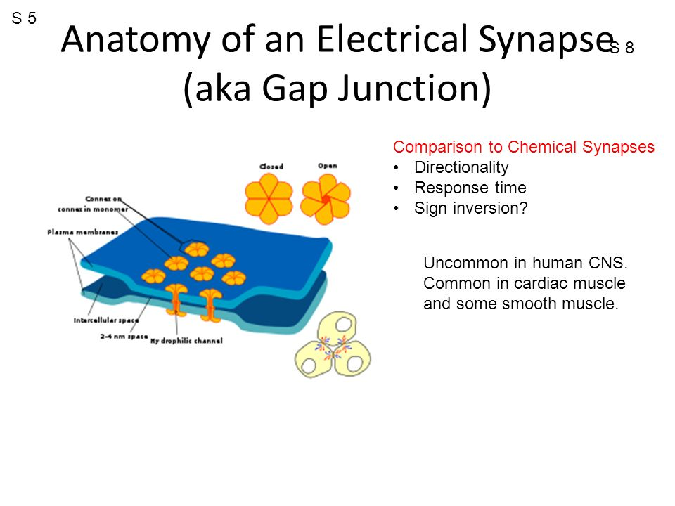 why is resting membrane potential closer to ek than ena? - ppt, Muscles