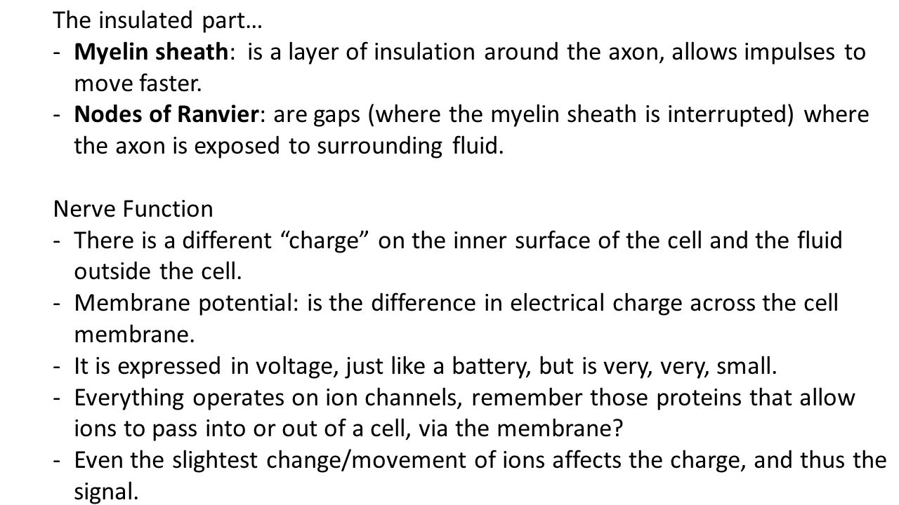 The insulated part… Myelin sheath: is a layer of insulation around the axon, allows impulses to move faster.