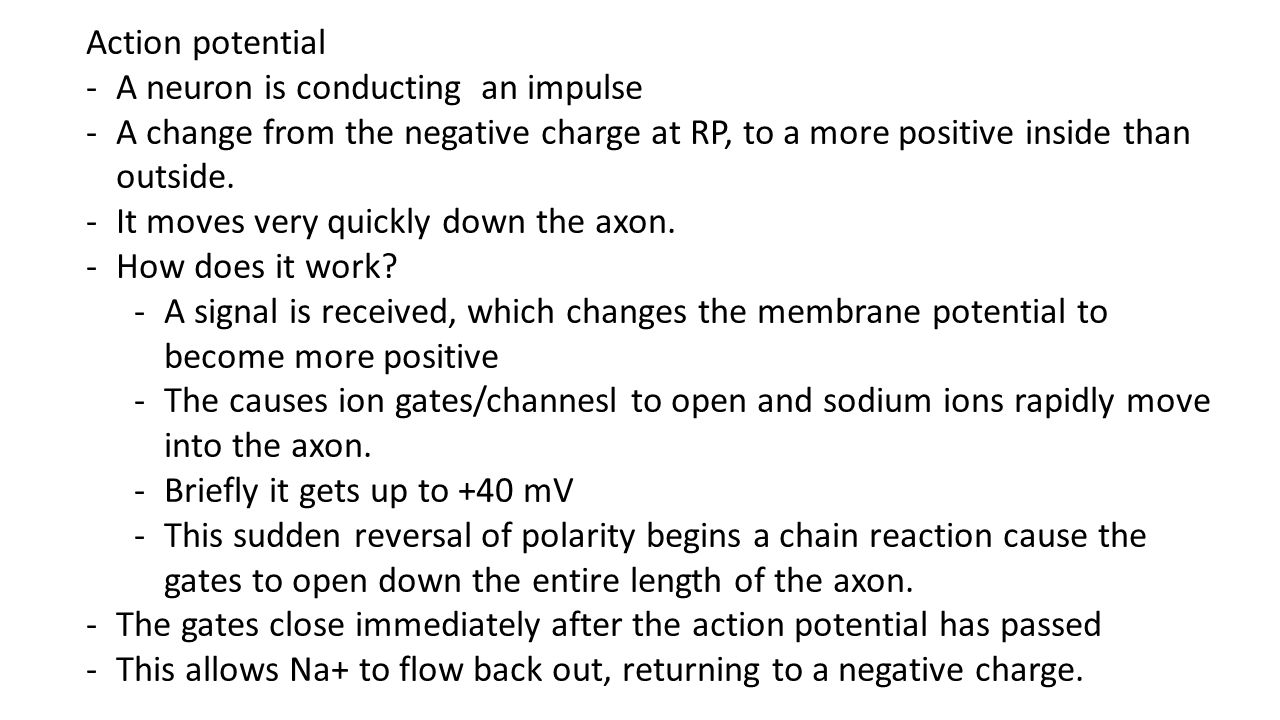 Action potential A neuron is conducting an impulse. A change from the negative charge at RP, to a more positive inside than outside.