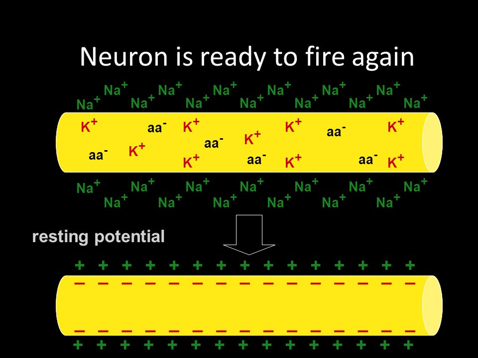 Neuron is ready to fire again