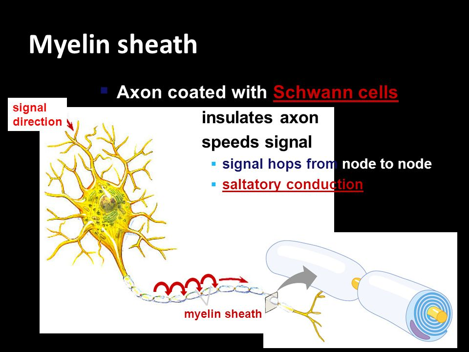 Myelin sheath Axon coated with Schwann cells insulates axon
