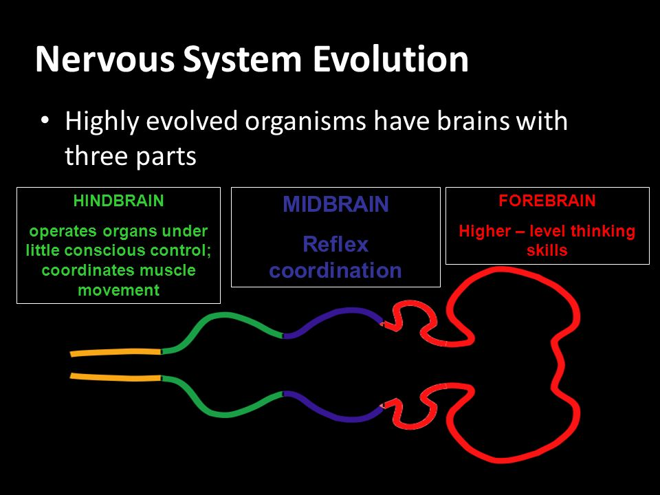 Nervous System Evolution