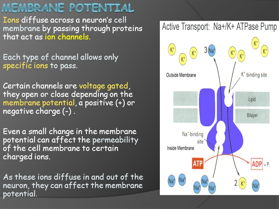 Membrane potential Ions diffuse across a neuron's cell membrane by passing through proteins that act as ion channels.