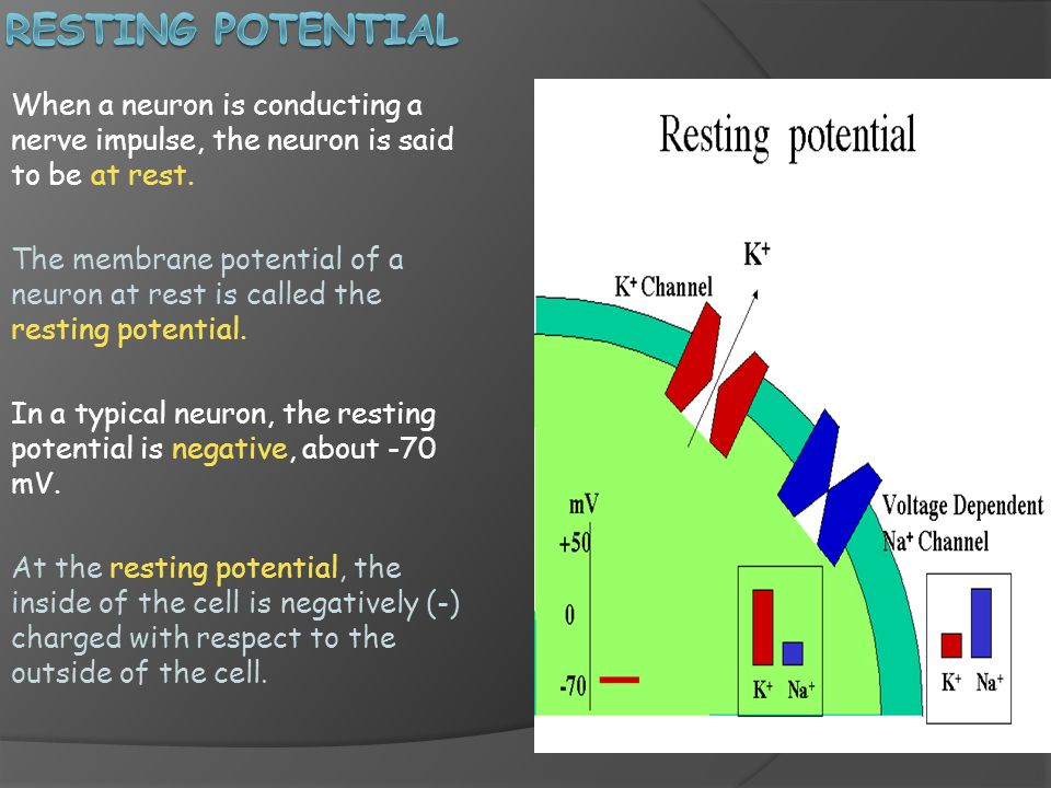 Resting Potential When a neuron is conducting a nerve impulse, the neuron is said to be at rest.