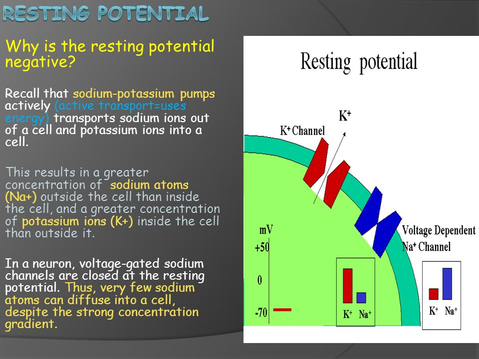 Resting Potential Why is the resting potential negative