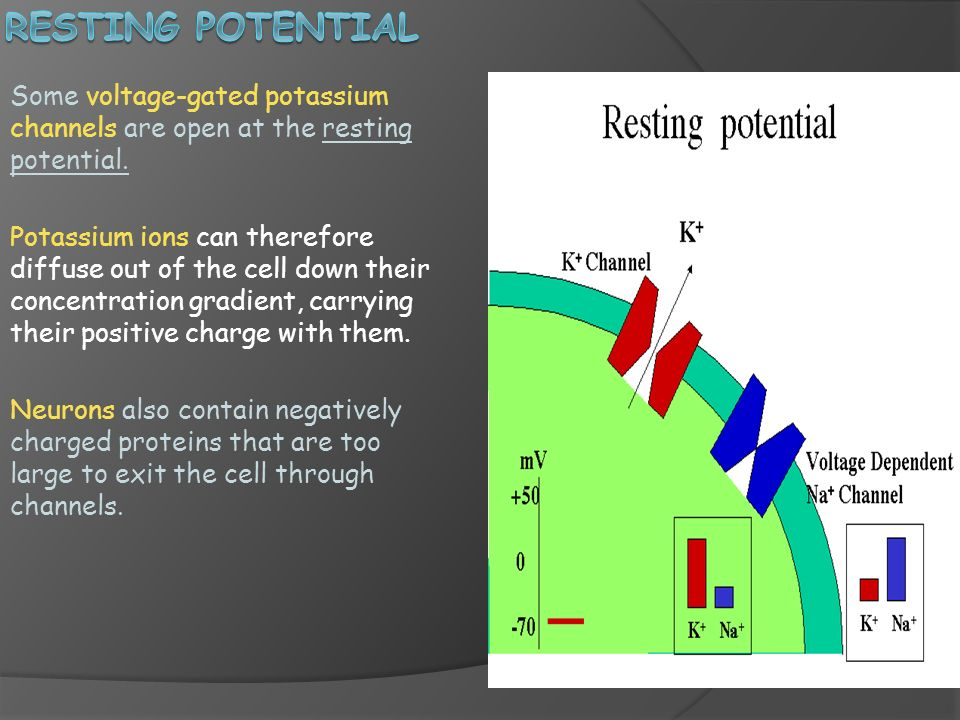 Resting Potential Some voltage-gated potassium channels are open at the resting potential.