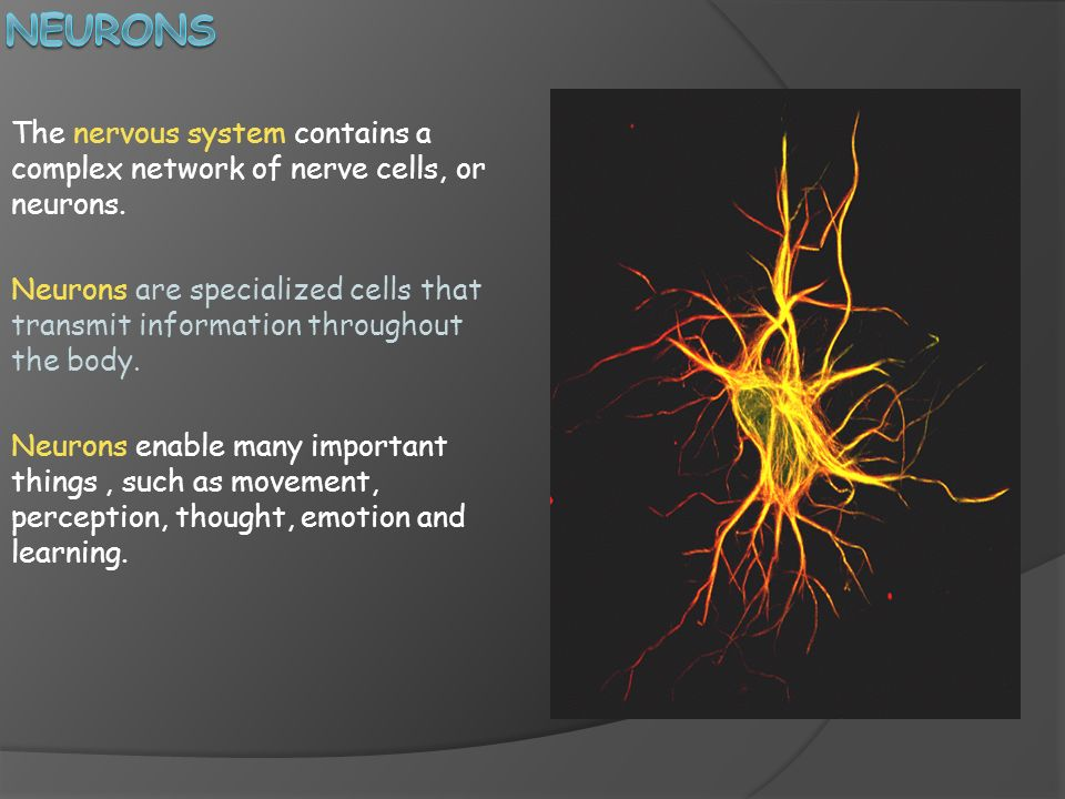 Neurons The nervous system contains a complex network of nerve cells, or neurons.