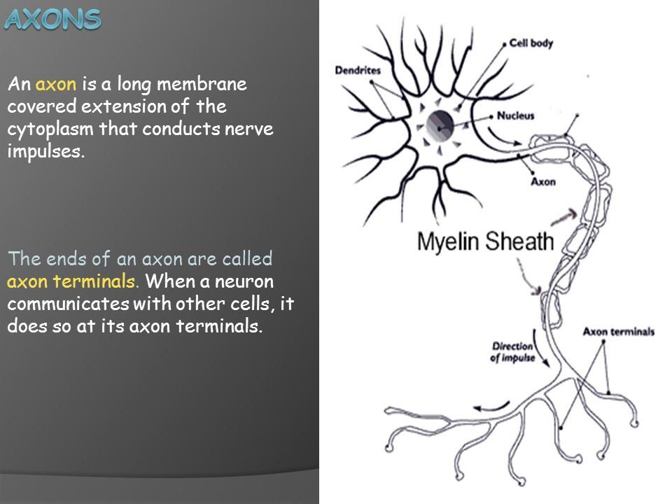 Axons An axon is a long membrane covered extension of the cytoplasm that conducts nerve impulses.