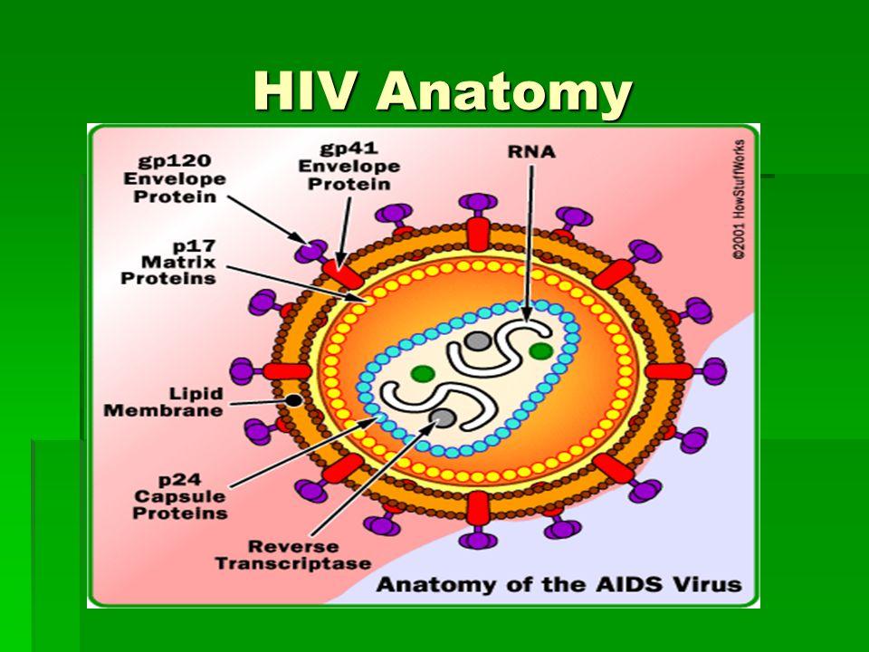 Anatomy of hiv