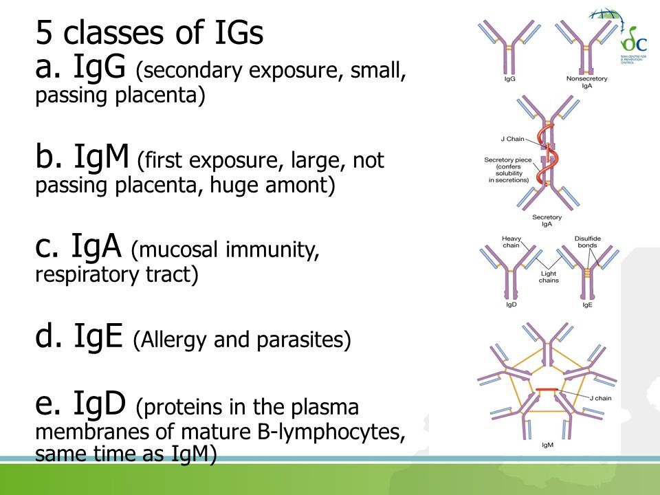 a. IgG (secondary exposure, small, passing placenta)