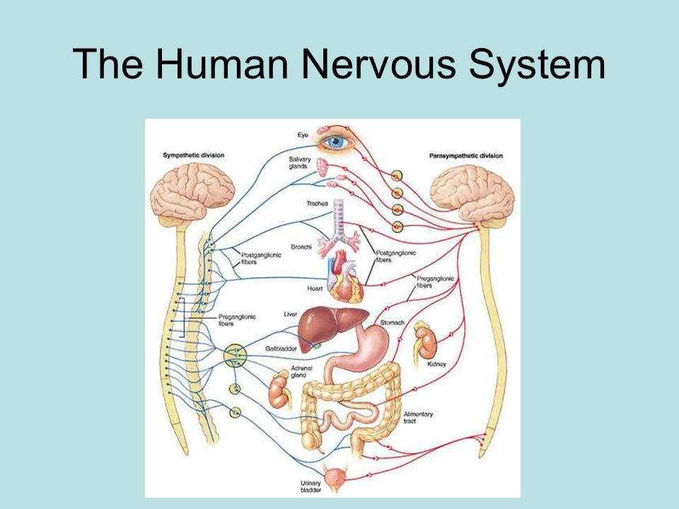 The Human Nervous System Ppt Video Online Download
