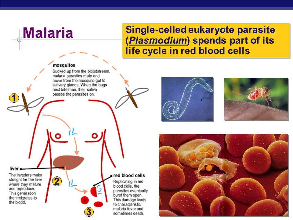 Malaria Single-celled eukaryote parasite (Plasmodium) spends part of its life cycle in red blood cells.