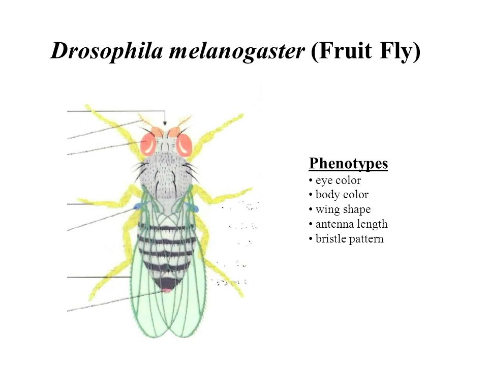 drosophila melanogaster eyes and wings genetics Drosophila genetics labs without the the need to select virgin female flies for crosses  the expected f 2 ratio is 9 normal wings, red eyes: 3  students can .