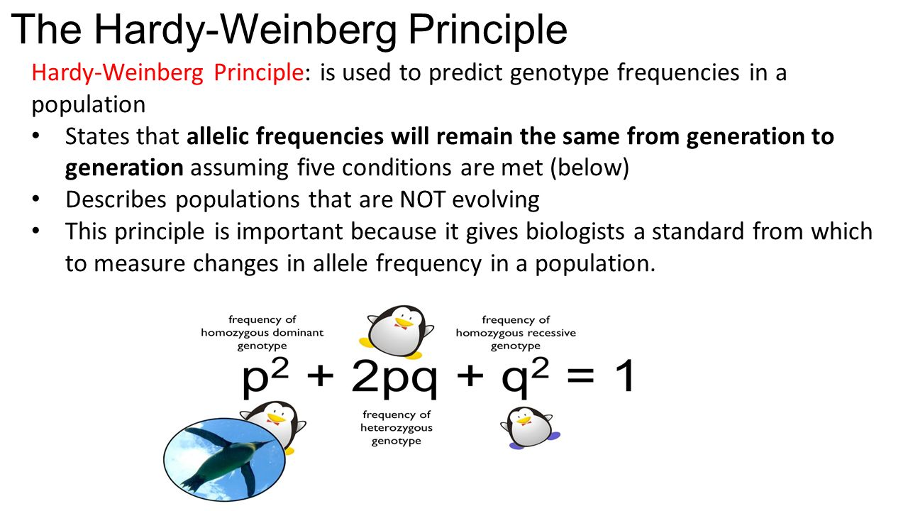 gene frequencies and the hardy weinberg Here is hardy–weinberg clearly established for a gene frequency of one-half but yule immediately diverts to calculating the proportion of dominant offspring.