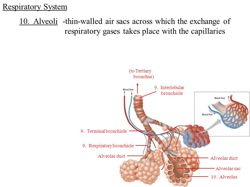 Respiratory System The System For Exchanging Gases Between The