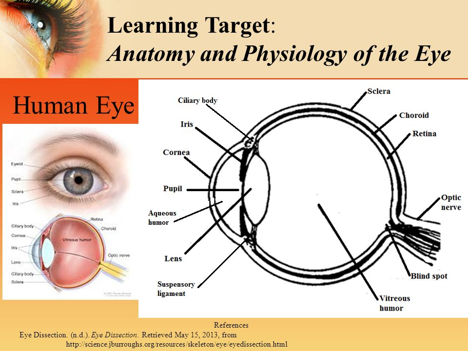 Anatomy physiology of the eye Homework Help