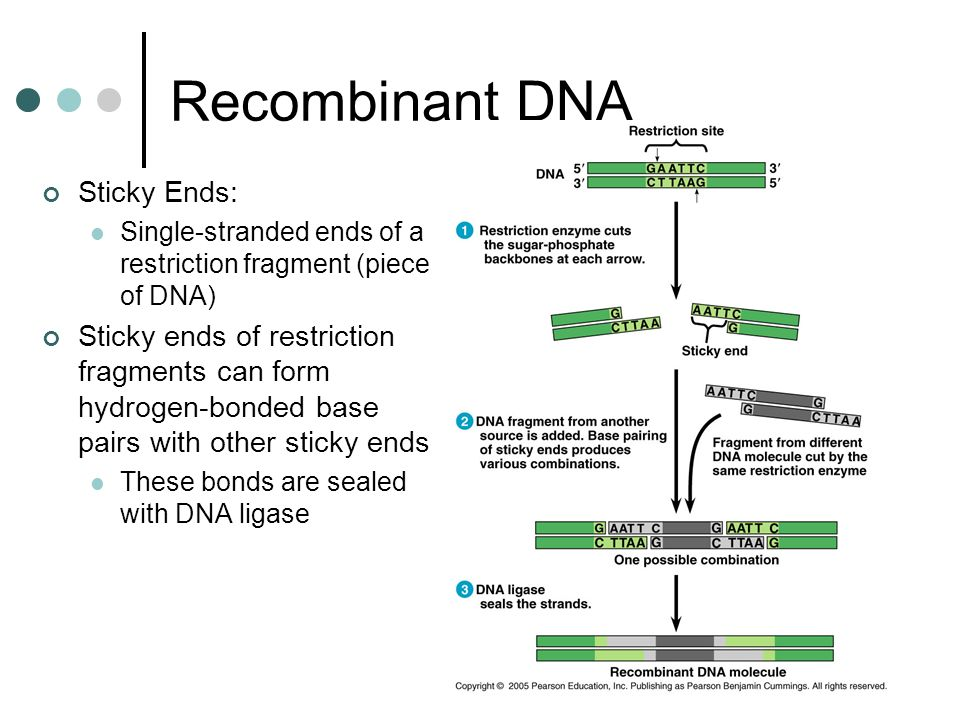 Recombinant DNA Sticky Ends: