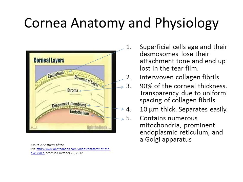 Vistoso Cornea Anatomy And Physiology Foto - Anatomía de Las ...