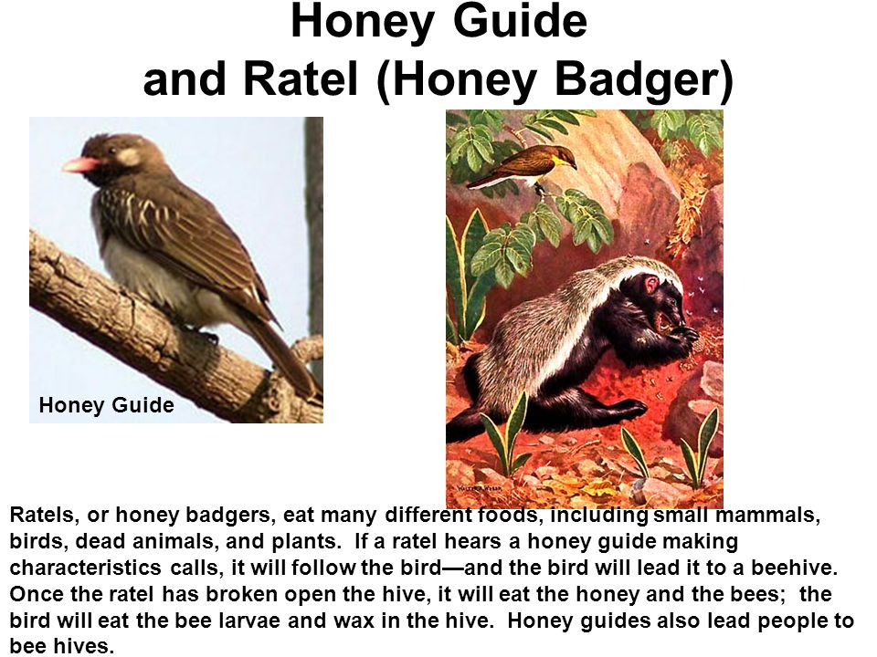 ratel and honeyguide bird relationship