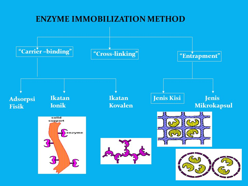 """immobilisation of enzimes essay Immobilized enzymes are used to study the type of disease present in the patient and also to study the pathological conditions immobilized enzyme """"aldolase"""" is used in diagnosis of muscle disorders."""