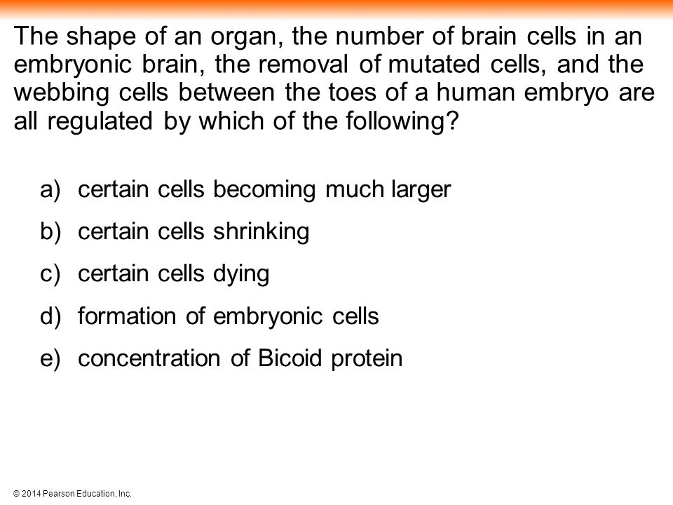 The shape of an organ, the number of brain cells in an embryonic brain, the removal of mutated cells, and the webbing cells between the toes of a human embryo are all regulated by which of the following