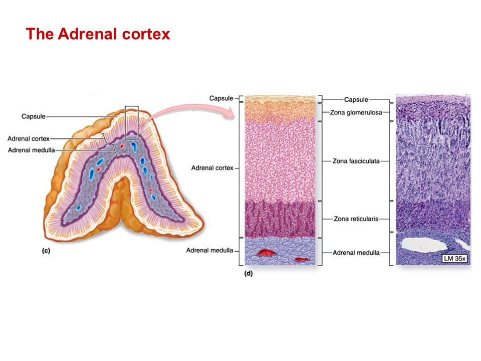 Cortex adrenal