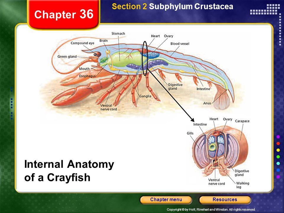 Internal anatomy of the crayfish