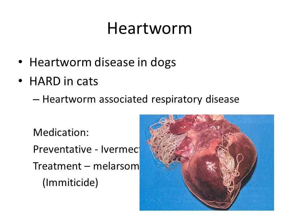 Heartworm Heartworm Disease In Dogs Hard In Cats