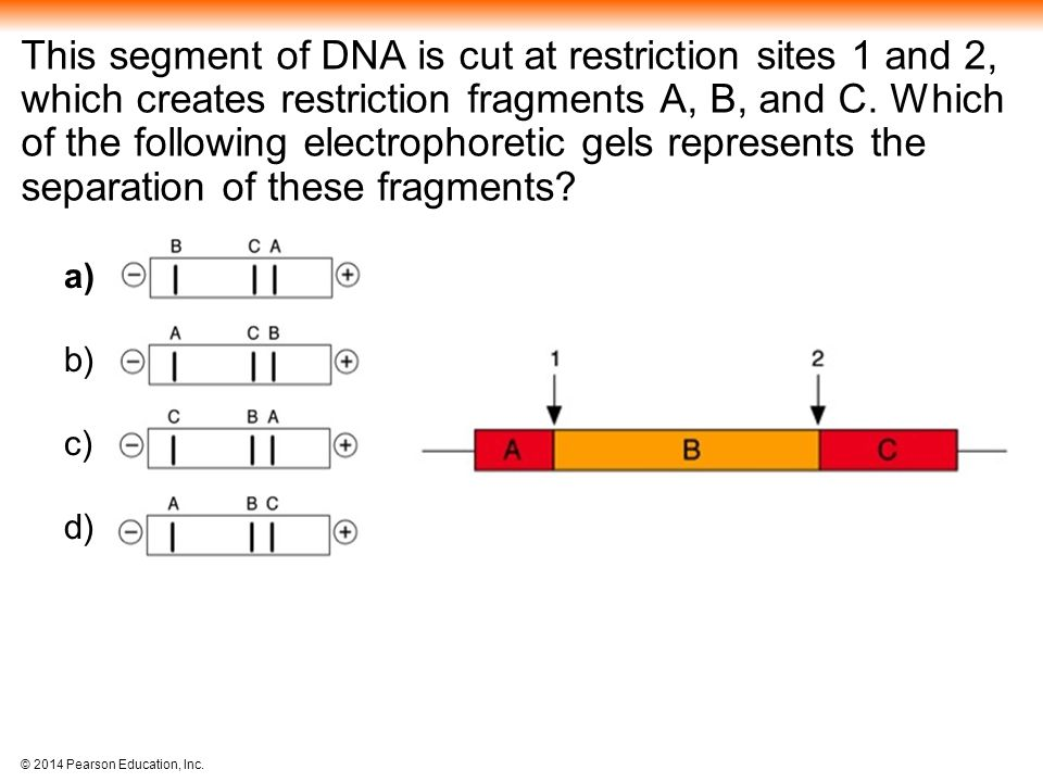 This segment of DNA is cut at restriction sites 1 and 2, which creates restriction fragments A, B, and C. Which of the following electrophoretic gels represents the separation of these fragments