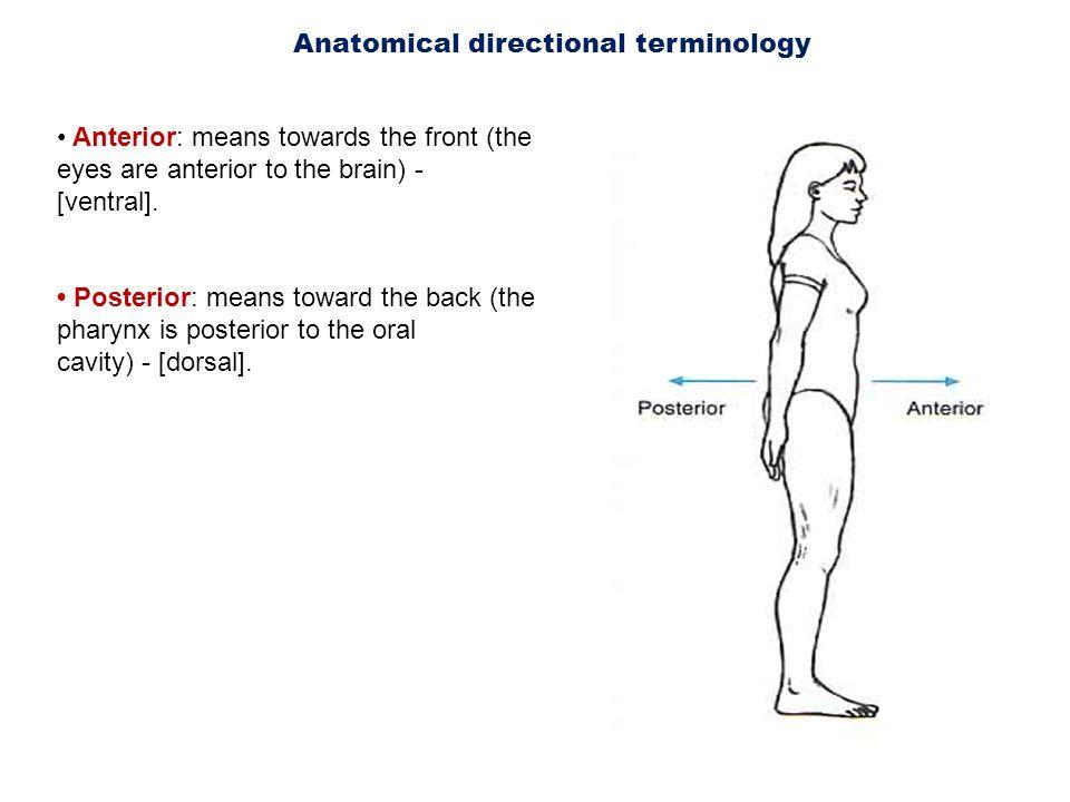 Dorable Define Dorsal Anatomy Composition - Anatomy And Physiology ...