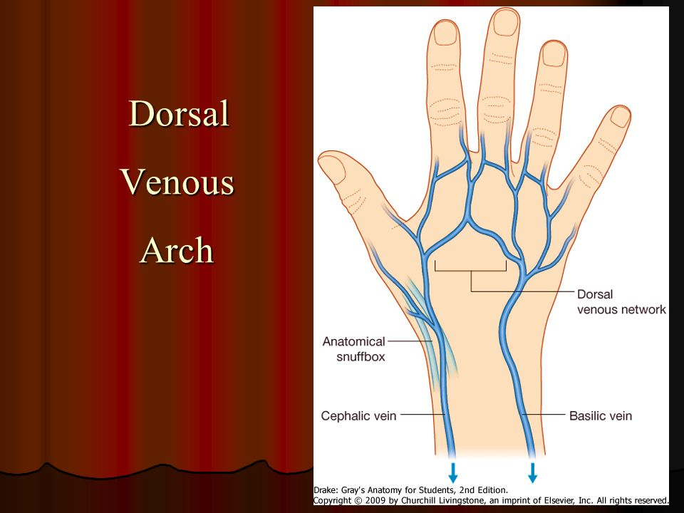 blood supply of the upper limb - ppt download, Cephalic Vein
