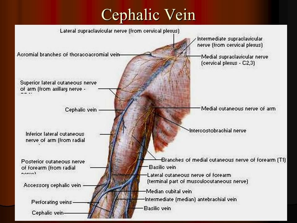 blood supply of the upper limb - ppt video online download, Cephalic Vein
