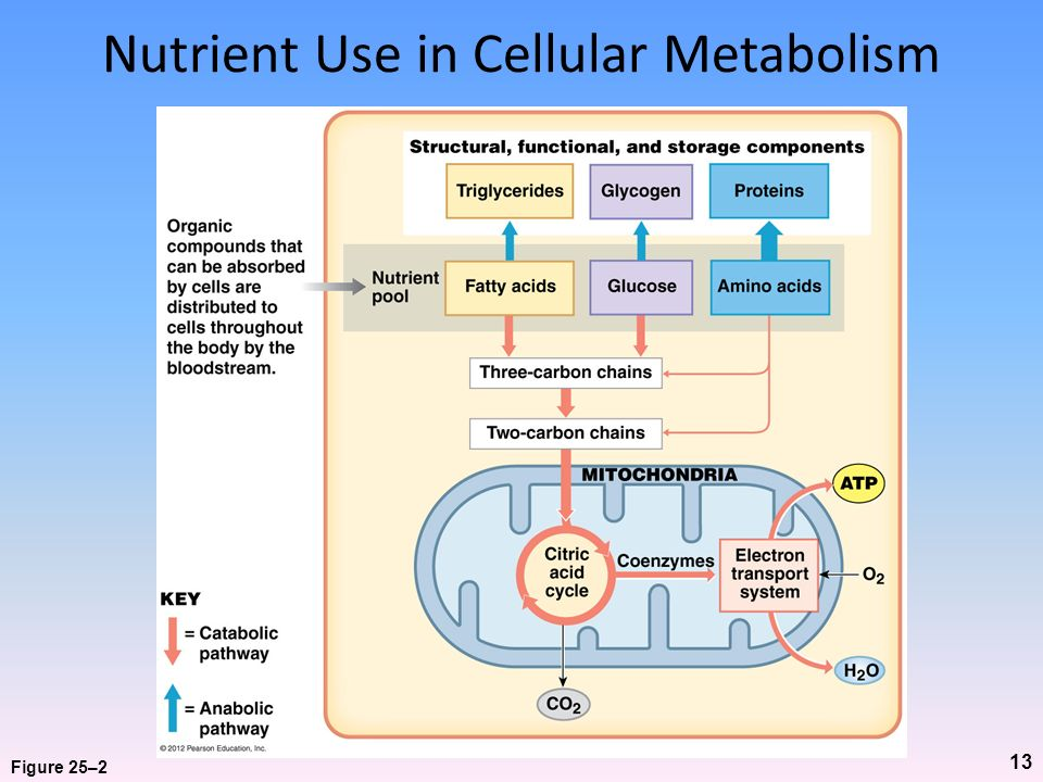 Nutrient Use in Cellular Metabolism
