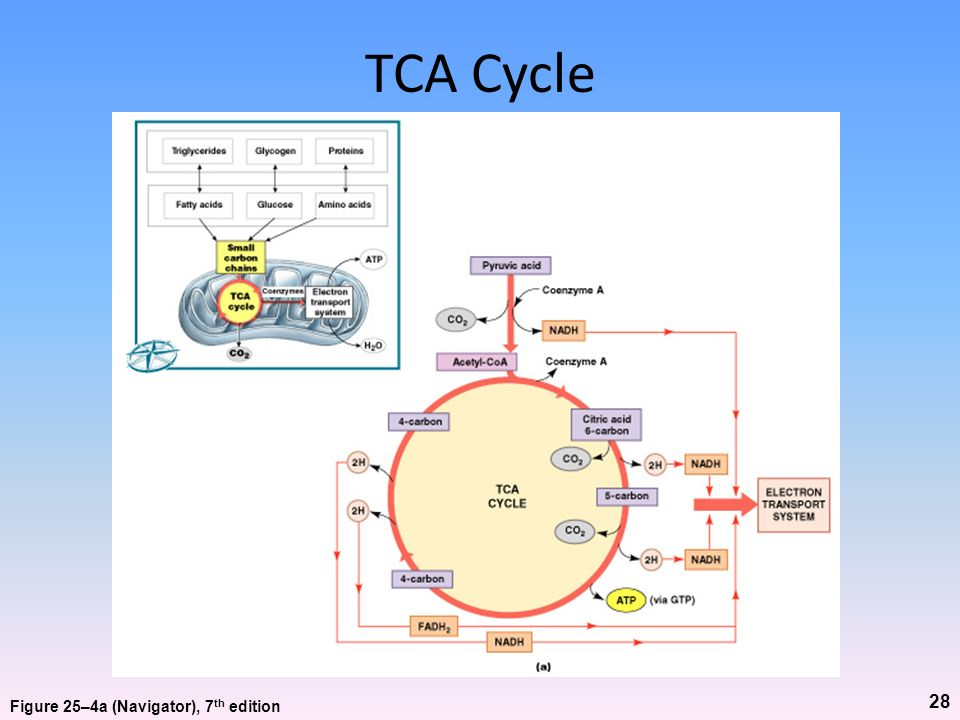 TCA Cycle Figure 25–4a (Navigator), 7th edition