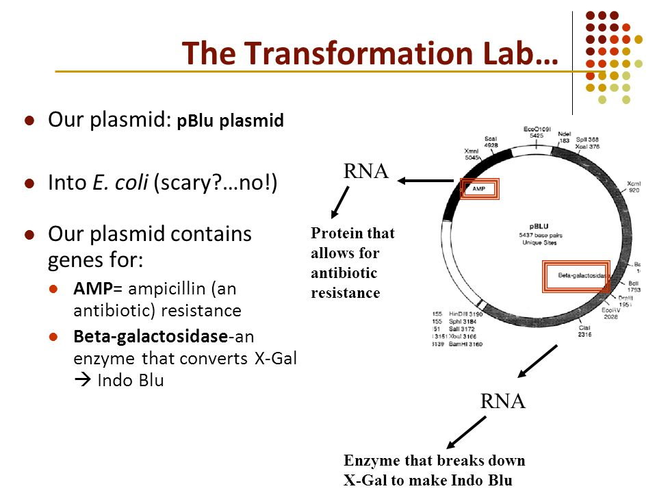 pblu lab Plasmid pblu/grna from dr robert stupar's lab contains the insert guide rna cassette and is published in gm crops food 20156(4):243-52 doi: 101080/2164569820151106063.